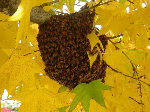 Murrieta Bee Removal Guys Picture of a 