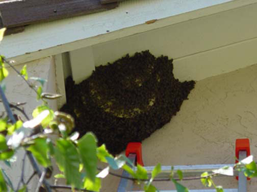 Bee Removal Murrieta This is a 