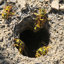 Yellow Jacket Removal Temecula CA